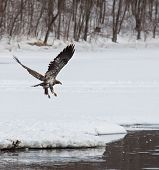 Juvenile bald eagle in flight near open water, in search of food poster