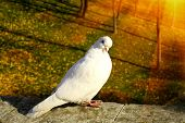 White dove in autumn park under sunrays poster