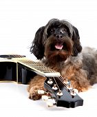 Musical instrument. Small doggie. Decorative thoroughbred dog. Puppy of the Petersburg orchid. Shaggy doggie. Decorative doggie and guitar. poster