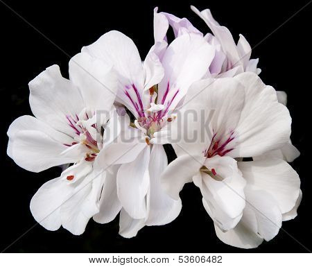 White Geranium With A Dark Background