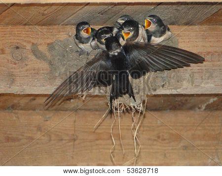 Farmers swalow Nest
