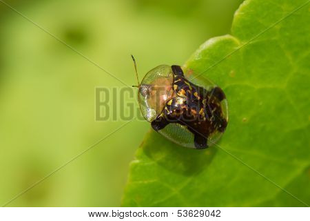 A Fool's Gold Tortoise Beetle Aspidemorpha quinquefasciata) poster