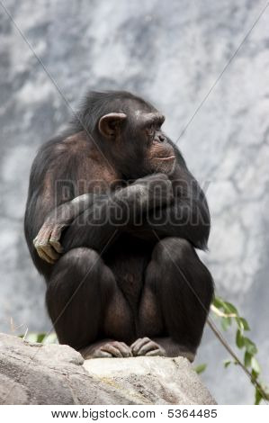 Chimp On A Rock
