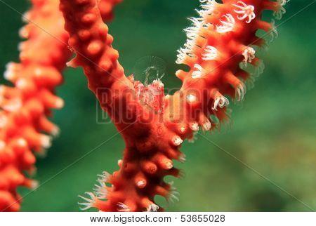 Sea Pen Porcelain Crab