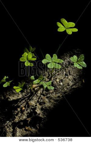 Clover In The Ground