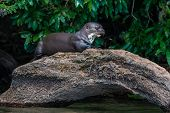Giant otter standing on log in the peruvian Amazonian jungle at Madre de Dios poster