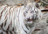 white tiger in Guangzhou, endangered animal in China poster