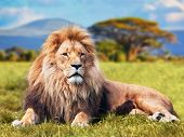 Big lion lying on savannah grass. Landscape with characteristic trees on the plain and hills in the background poster