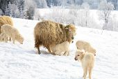 Mother sheep breast feeding her little lamb. Maternal instinct. Live on farm by winter. poster