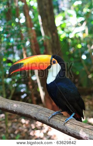 Toco Toucan (common)