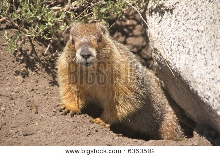 Yellow-bellied marmot crawling out from under a rock