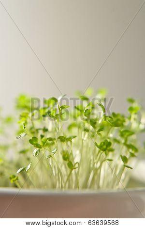Arugula Or Eruca Sativa Offspring
