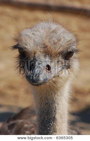 poster of A portrait of an Ostrich. Photo - summer 2009.