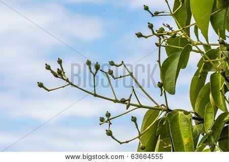 Cloves On Tree