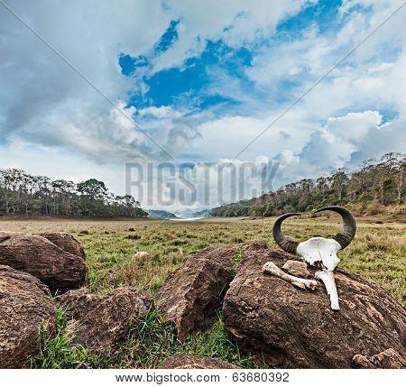 Gaur (Indian bison) skull with horns and bones in Periyar wildlife sanctuary, Kumily, Kerala, India poster
