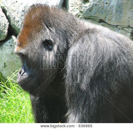 Gorilla-Profile View