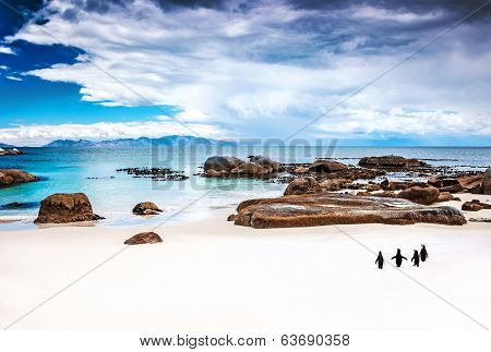 Wild South African penguins, colony of Black-footed Penguins walking on Boulders beach in Simons Town, beauty of wildlife