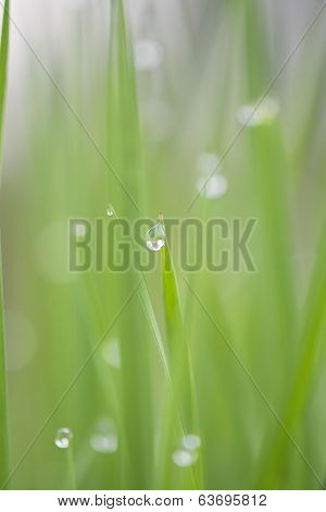 Fresh Green Meadow With Dew