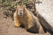 Yellow-bellied marmot (marmota flaviventris) in Tuolumne Meadows (Yosemite National Park) leaving his burrow. poster