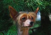 The Chinese Crested Dog is a smaller  hairless breed of dog. Like most hairless dog breeds, the Chinese Crested comes in two varieties, both with and without fur, which are born in the same litter: the Hairless and the Powderpuff. poster