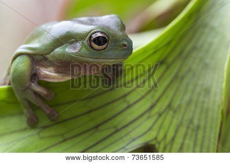 Australian Green Tree Frog
