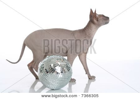 Egyptian Donskoy Bald Cat Isolated On White Background