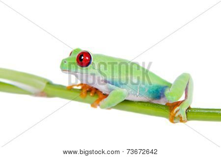 Beautiful red eyed tree frog on white background
