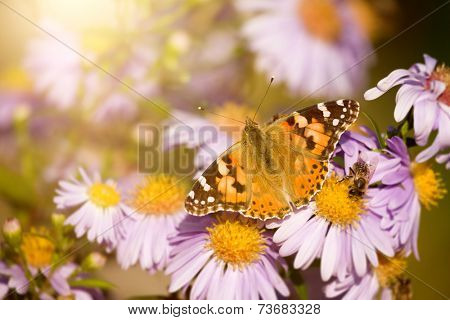 An image of a nice butterfly Vanessa cardui