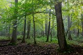 Natural alder-carr stand of Bialowieza Forest in autumnal morning mist poster