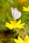 White butterfly with yellow cosmos in garden. poster