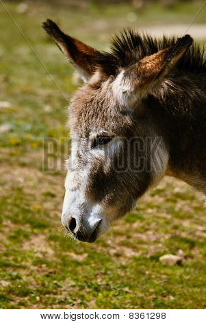 head of sad donkey. portrait on nature poster