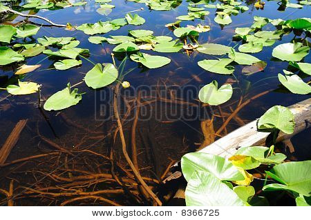 Lily Pad And Clear Water