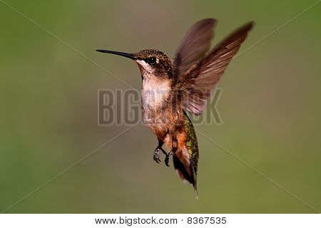 Juvenile Ruby-throated Hummingbird (archilochus colubris) in flight with a colorful background poster