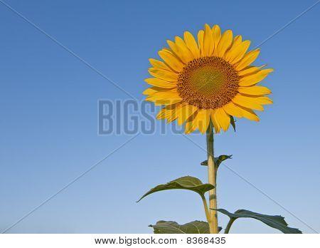 Sunflower against a blue sky.