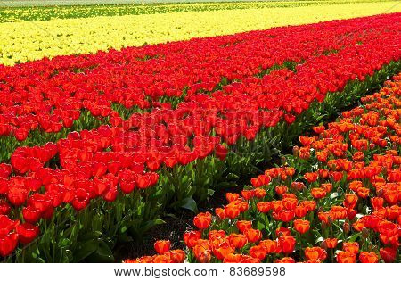 background of Field full of red and yellow tulips in bloom