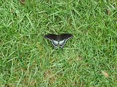 Butterfly resting on grass poster