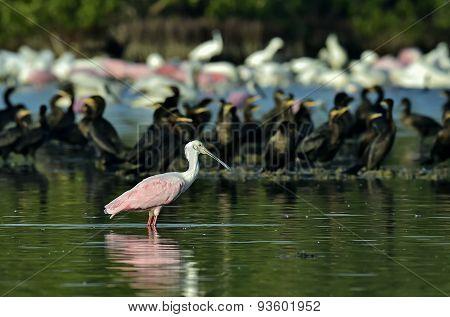 Roseate Spoonbill In Lagoon.