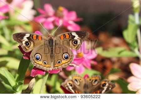 Mangrove buckeye butterfly on a zinnia flower