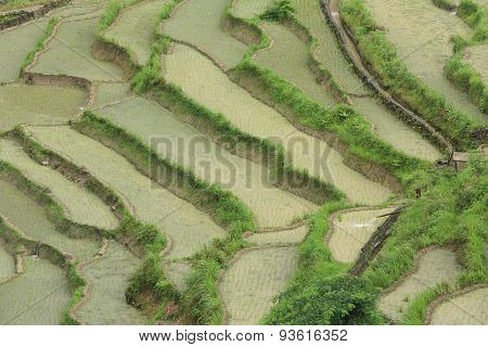 clsoeup of rice paddy in summer rain china