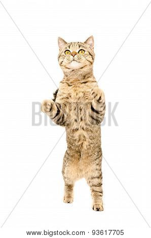 Frisky cat Scottish Straight standing on his hind legs
