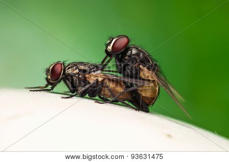Breeding Fly On Mushroom And Green Background.