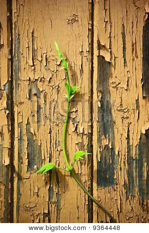 Young Sprout On Old Wood  Wall Background
