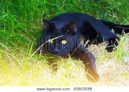 Black Cat In The Grass