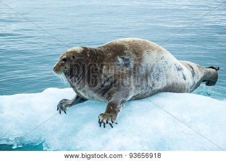 Seal in the fjord Hornsund. Arctic winter in Spitsbergen.