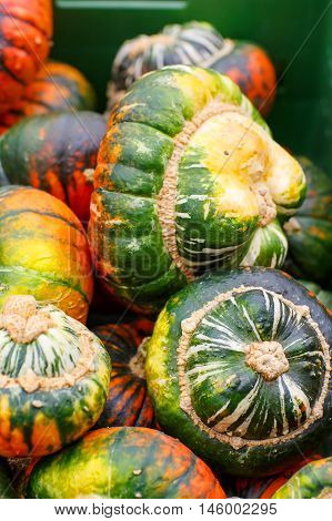 bunch of plump and juicy holiday pumpkins on farm or patch. Different pumpkins for Jack o'lantern or thanksgiving poster