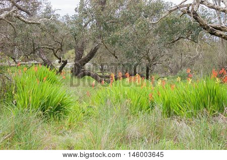 Colourful wildflowers and grasses with lush greenery in bushland landscape in natural reserve in Bibra Lake, Western Australia.