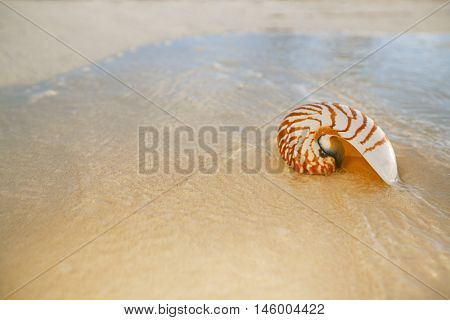 nautilus sea shell on golden sand beach with waves in  soft sunset light, shallow dof