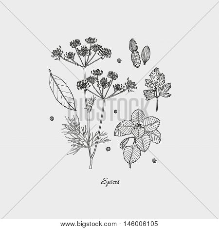 Set of Herbs and Spices. Natural spices. Compilation of vector sketches. Kitchen herbs and spice. Vintage style. Hand drawn.