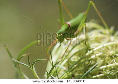Closeup on a Green Cricket Grasshopper. Grasshopper on a plant.