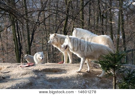 Pack Of Polar Wolves.